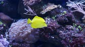 slané : A yellow tang fish also known as zebrasoma swims among the corrals and is looking for food