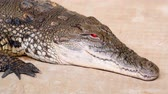 siyam : Nile crocodile opens his bloody red eyes. Largest freshwater predator in Africa. Close up