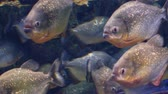 agressivo : The school of red-bellied piranha, also known as the red piranha (Pygocentrus nattereri)