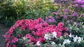floristic : Bushes of pink and white azalea in the greenhouse. Rhododendron