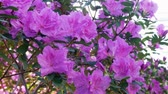 paproć : A bush of pink azalea near the window. Rhododendron Wideo