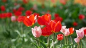 flower bed : On the field of red and pink tulips. International Womens Day concept