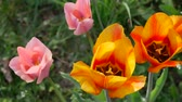 flower bed : Dutch tulips in the flowerbed. Close up