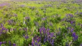 lupine : Purple lupine in bloom at the sunrise landscape. Lupinus, commonly known as lupin or lupine. Aerial fly over 4k