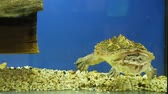 shell : Mata mata freshwater turtle (Chelus fimbriata) swimming in the aquarium. Funny smiling turtle 4k
