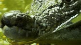 leather : Crocodile close up. Panoramic move from jaws to head. Reptile predator waiting for its victim 4k