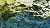 krokodyl : Close up view of the head and teeth of a crocodile, alligator, caiman. Reptile behind the glass 4k Wideo