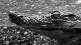 aligátor : Alligator under the water, head with green eyes sticking out above the water. Crocodile waiting for its victim 4k
