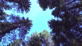 borovice : Blue sky in the middle of the trees in the woods