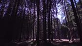 glanz : Rays of the sun in the woods among the tall trees Stock Footage