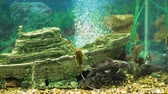 aquatic plants : Group of Catfishes in Big Aquarium with Decorations and Air Bubbles from the Filter. Big Artificial Small Ship is on the Bottom of Aquarium Stock Footage