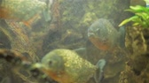 cysterna : Close-Up of Piranha Fish Looking into a Camera. Danger Fishes in the Water. Travel Wildlife and Underwater World Concept Wideo