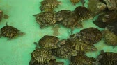 zoo : Group of Red-eared Turtles Swimming in an Artificial Pond. Travel Wildlife and Underwater World Concept Stock Footage