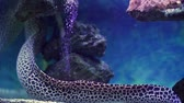 angolna : Close-Up of Swimming Moray Eel in Marine Aquarium. Colorful Coral Reef Wild Life. Travel Wildlife and Underwater World Concept
