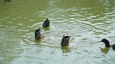 кряква : Group of Wild Ducks Swimming and Diving in a City Park Pond. Animals Life in Nature