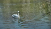 лебедь : Beautiful White Swan Swimming in a City Park Pond and Looking Around. Birds in Natural Environment Стоковые видеозаписи