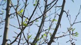 gomos : First Leaves on the Tree in Early Spring. Buds of Leaves on Twigs in Beautiful Sunny Spring Day