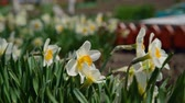 white narcissus : A Small Bee Flies Close to Blooming Narcissus in Search of Some Nectar. Narcissus Flower also Known as Daffodil, Daffadowndilly and Jonquil Stock Footage