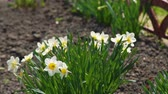 narcisse : White Narcissus Flowers Blooming in Early Spring in a Garden. Narcissus Flower also Known as Daffodil, Daffadowndilly and Jonquil
