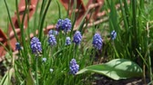 hyacint : Muscari Armeniacum Grape Hyacinth Blooms in Early Spring. Flowers in the Garden