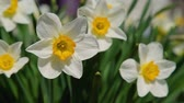 narcissus : Close-Up of Beautiful White Daffodil Flowers Blooming in the Garden in Early Spring. White Narcissus Narcissus Poeticus Stock Footage