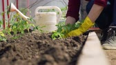 ebilmek : Close-Up of Hands of a Young Woman Planting Tomatoes in the Greenhouse. Planting Seedlings in the Garden. Concept of Growing Natural Clean and Organic Food Stok Video