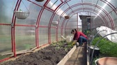 cultivating : Wide Shot of Young Woman Planting Tomatoes in the Greenhouse. Woman Working in a Organic Vegetable Garden in Spring. Farming, Gardening, Agriculture and People Concept