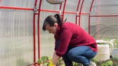 annaffiatoio : Young Woman Planting Tomatoes in the Ground in Slow Motion. Female Farmer Working in a Greenhouse. Farming, Gardening, Agriculture and People Concept Filmati Stock