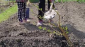 Rural Family of Senior Woman and her Granddaughter Planting Potatoes in the Organic Vegetable Garden in Slow Motion. Farming, Gardening, Agriculture and People Concept Wideo