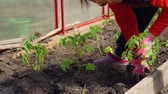 Hand of Senior Woman Planting an Organic Tomato in Slow Motion. Female Farmer Working in a Greenhouse. Farming, Gardening, Agriculture and People Concept 動画素材