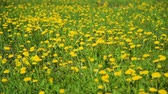 Lots of Yellow Dandelions in the Meadow in Spring. Harmony with Nature, Concept of Vacation, Summer Leisure, Ecology