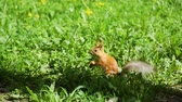 грызун : Cute Red Squirrel Sitting on a Grass and Eating a Nut in a Parkin Sunny Spring Day. Slow Motion. Nature and Wildlife Concept