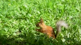 грызун : Close Up Shot of European Red Squirrel (a Species of Tree Squirrel) Eating Nut on the Grass in a City Park in Sunny Day in Slow Motion. Nature and Wildlife Concept