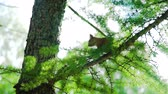 грызун : Cute Squirrel Sitting on a Tree Branch and Looking Around. Squirrel Portrait in Spring Sunny Day. Slow Motion. Nature and Wildlife Concept