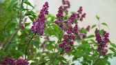 lilac : Beautiful View of the Blooming Lilac Bush in the Garden. Lilac Syringa Bush with Lilac Buds. Slow Motion. Harmony with Nature, Spring Time, Ecology Stock Footage