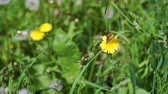alergia : Beautiful Butterfly Sitting on a Dandelion Flower in Shiny Summer Day. Harmony with Nature, Summer Time, Ecology