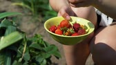 morango : Picking Organic Strawberries in a Farm. Female Farmer Putting Fresh Berries into the Plate. Slow Motion. Organic and Healthy Food Concept