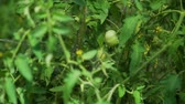 filiz : Close Up of Watering Unripe Tomatoes in a Greenhouse. Water Spraying Over Young Green Tomato Stems. Care of Plants for Growth Concept