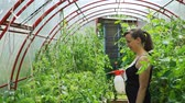 postřikovačů : Young Woman Spraying Nature Fertilizer to a Tomato Plants in the Greenhouse. Vegetable Cultivation. Farming, Gardening, Agriculture and People Concept Dostupné videozáznamy