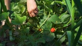morango : Close Up of Woman Picking Fresh Strawberries in the Garden in Slow Motion. Concept of Growing Natural Clean and Organic Food