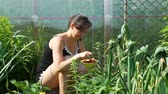 morango : Young Woman Picking Strawberries in Sunny Summer Day in Slow Motion. Concept of Growing Natural Clean and Organic Food