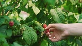 biologisch : Close Up of Hands of Woman Picking Ripe Raspberries. Slow Motion. Organic and Healthy Food Concept