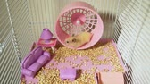 hamsterrad : Syrian Hamster Running on a Wheel in a Cage with Toy Furniture. Rodent at Home. Pets and Animals Concept