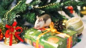 rat : Little Domestic Rat Eating Seeds near Christmas Tree Decorations. The Symbol of the New Year 2020 in the Chinese Calendar. New Year and Christmas Concept