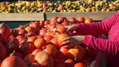 販売のための : Female Customer Shopping at the Farmers Market in Slow Motion. Young Woman Buying Fresh Pumpkin Outdoors in Sunny Autumn Day. Natural Organic and Vegan Food Shopping Concept