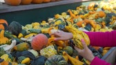 販売の : Various Colorful Decorative Gourds at Farmers Market. Close Up of Woman with her Daughter Buying Fresh Vegetables. Halloween Harvesting and Thanksgiving Concept 動画素材