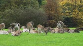 összhang : Herd of Roe Deers Resting on a Green Meadow near the Colorful Autumn Forest. Harmony with Nature, Ecology and Wildlife Concept