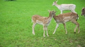 pastvisko : Cute Fawn Walking with Mom Deer in a Park. Herd of Deer Grazing on the Green Field. Slow Motion. Animals Life in Nature, Wildlife Concept