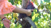 Close Up of Woman Inspecting Fresh Grape Harvest for Family Winery in the Italian Countryside. Slow Motion. Agritourism, Ecotourism and Local Organic Production Concept