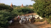 field : Caravan of cows moving in Bagan Myanmar